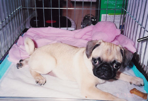 Puggle Dog Names my Name is Puggles Gray From
